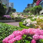 Beautiful Hydrangeas along Lombard Street.