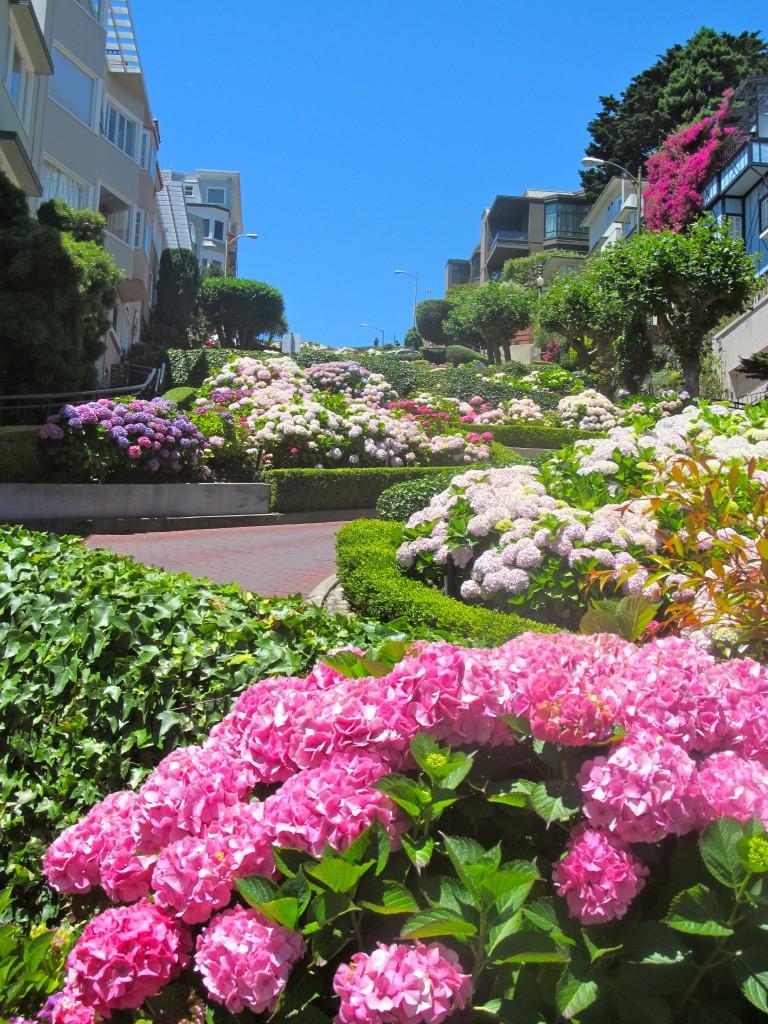 Beautiful Hydrangeas along Lombard Street.